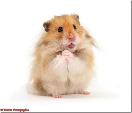 hamster grande imagen (14)