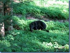 0090 Great Smoky Mountain National Park  - Tennessee - Laurel Creek Road - Black Bear