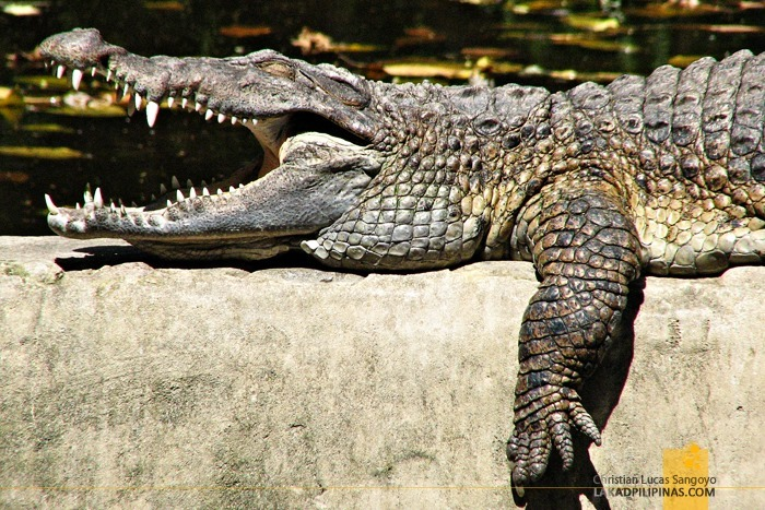 Crocodiles at Subic's Zoobic Safari