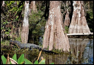 16e - Cypress Swamp Big Trees and Big Gators