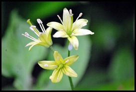 04v5 - Flowers - Wild Garlic