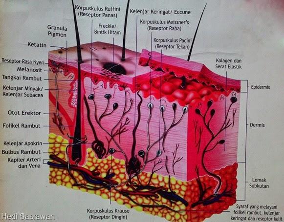 12 Fungsi Kulit Manusia Beserta Bagian-Bagian dan Struktur Kulit