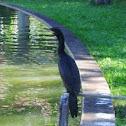 Cormorant / Biguá