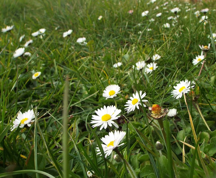 daisys in the grass