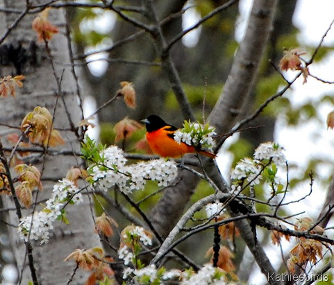 5. baltimore oriole-kab