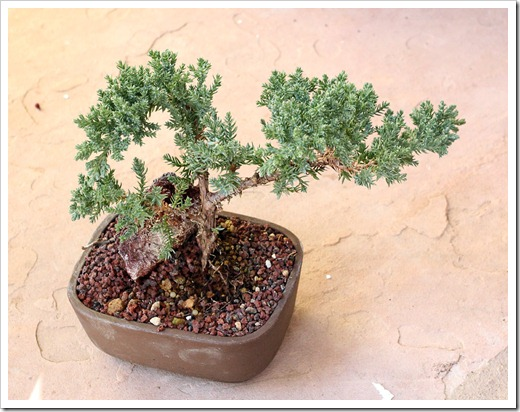 120223_juniper_bonsai