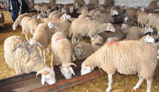 La rumeur gonfle les prix du mouton Entre 33.000 et 50.000 ...