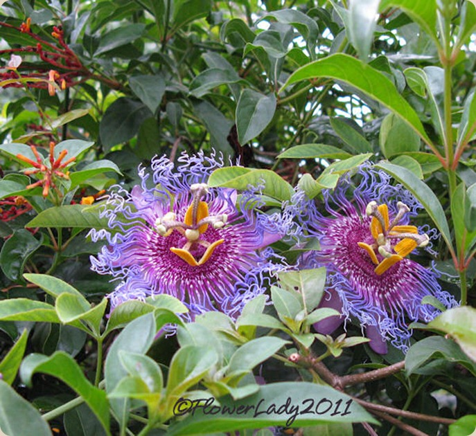 10-08-passionflowers3