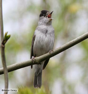 download suara burung
