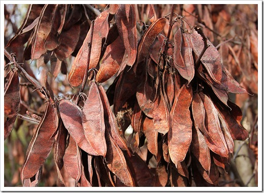 120102_brown_redbud_seedpods