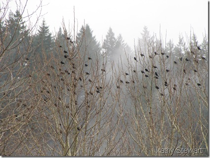 Red-wing Blackbirds