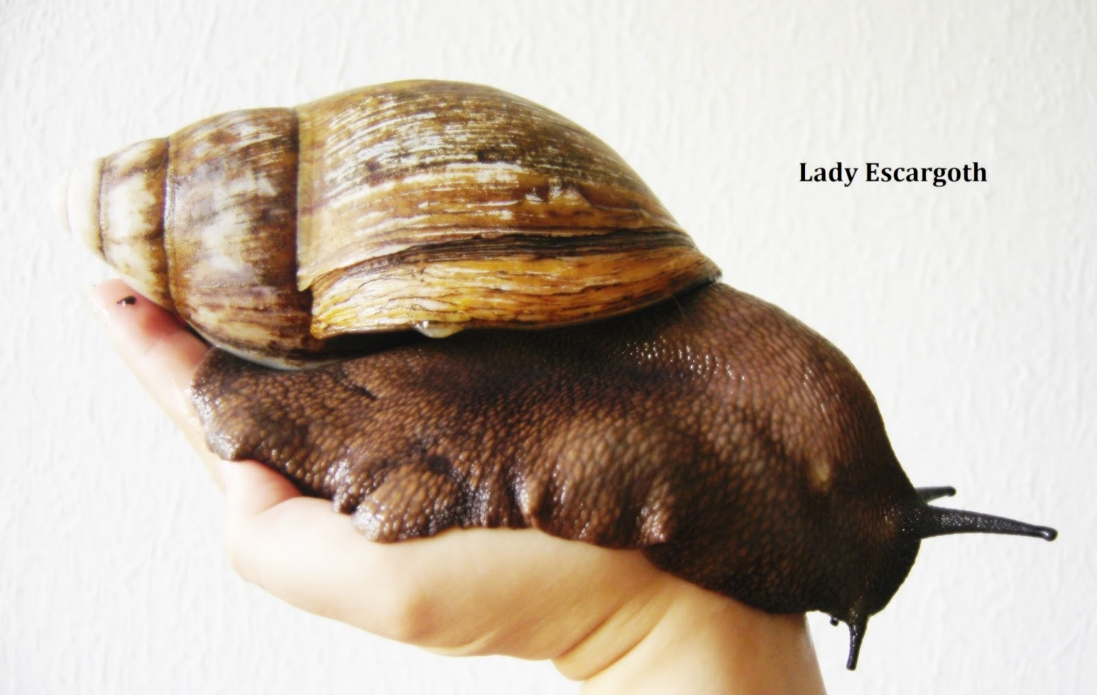 escargot geant achatine