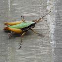 Amazonian Grasshopper