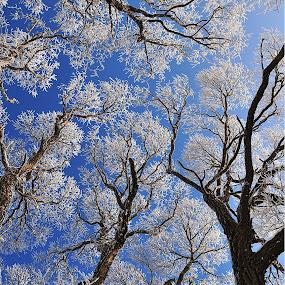 Trees by Eugenija Seinauskiene - Nature Up Close Trees & Bushes ( sky, winter, white, trees,  )