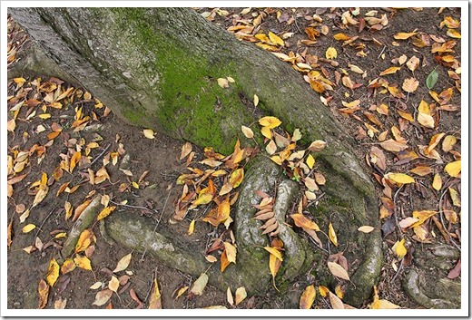 111127_tree-roots-and-leaves