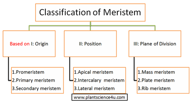 Classification of plant meristem