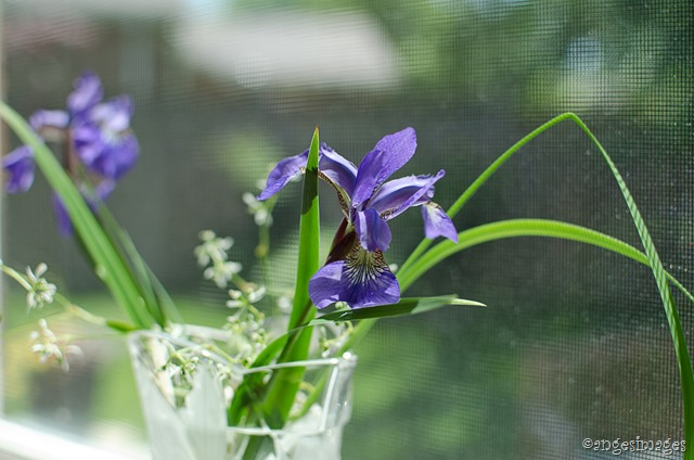 Siberian Irises in Bloom | personallyandrea.com