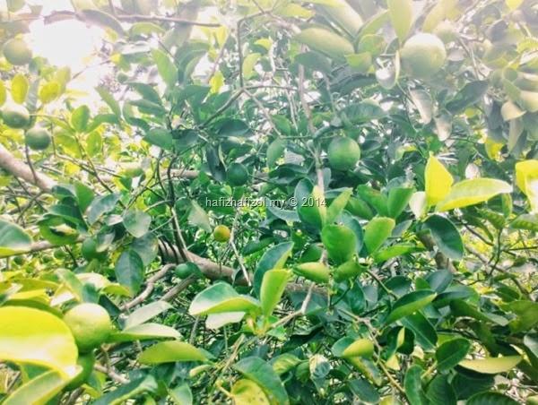 gambar pokok limau nipis