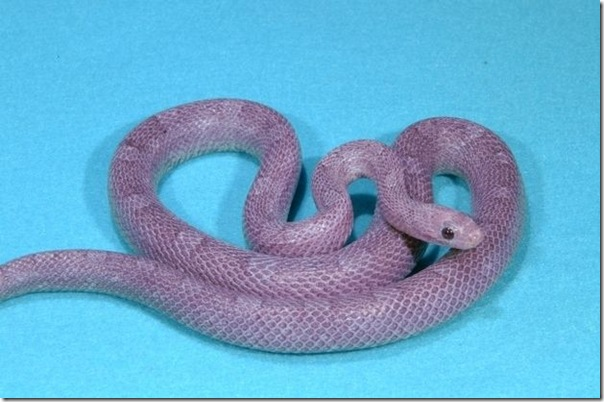 Fluorescent Orange Corn Snake Alizul: 16 ODDL...