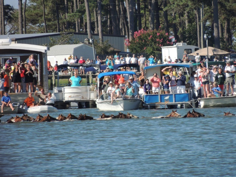 chincoteague-pony-swim-10