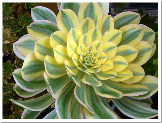 120208_CactusJungle_Aeonium-Sunset