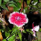 dianthus .,clavelina