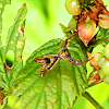 Spider - Arrowshaped Micrathena