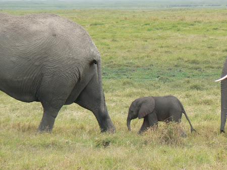 Safari Kenya: Familie elefanti Amboseli