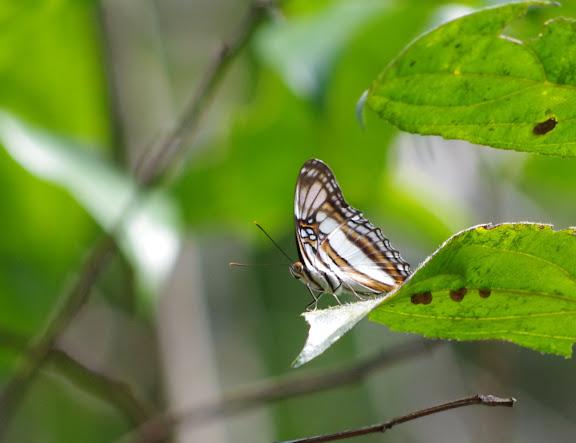 Adelpha radiata FRUHSTORFER, 1915. Patawa (Montagne de Kaw), 24 octobre 2012. Photo : J.-M. Gayman