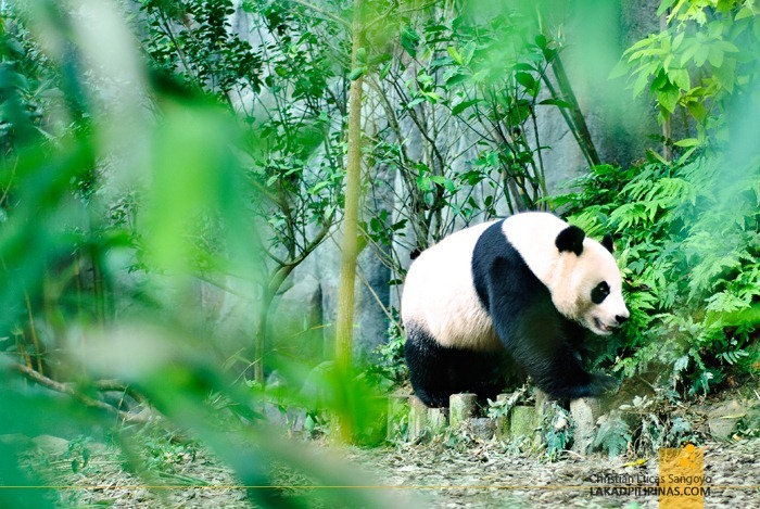 Kai Kai, One of Singapore's Giant Pandas