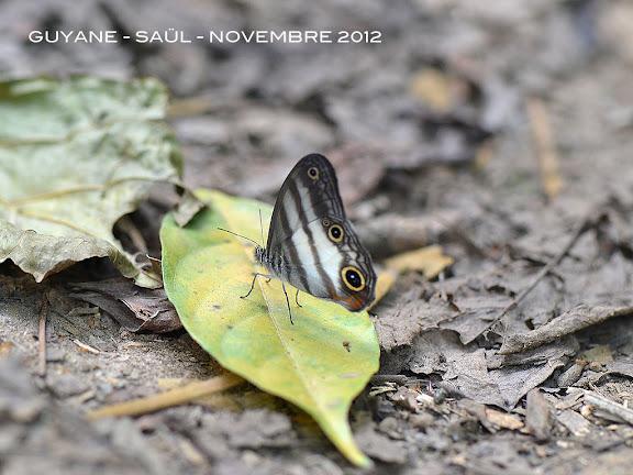 Pareuptychia lydia (CRAMER, 1777). Saül, novembre 2012. Photo : M. Belloin
