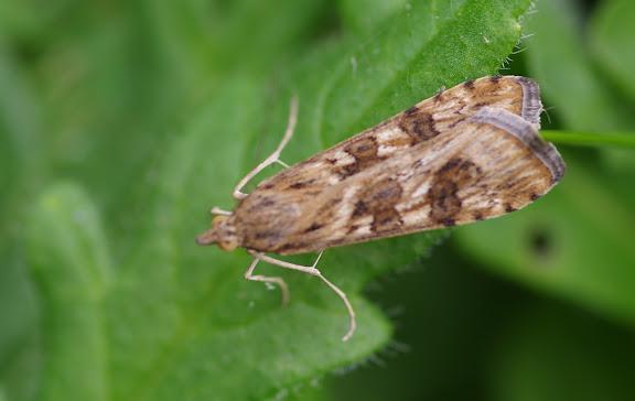 Crambidae : Spilomelinae : Nomophila noctuella (DENIS & SCHIFFERMÜLLER, 1775). Les Hautes-Lisières (Rouvres, 28), 24 août 2012. Photo : J.-M. Gayman