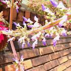 Flower Coleus