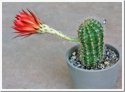 130518_Echinopsis-orange-red_01