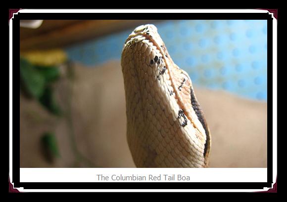 Columbian Red Tail Snake