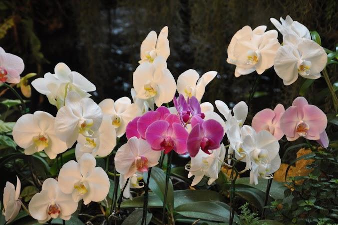 Imagini Thailanda: Orhidee din gradina Mae Fah Luang de la Doi Tung, Thailanda