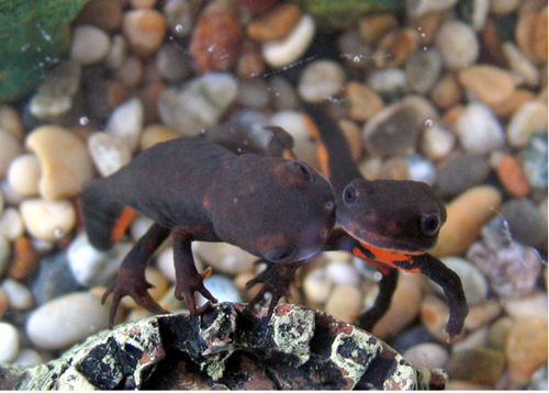 Contoh Hewan Amfibi Serta Klasifikasinya Rendang Sederhana