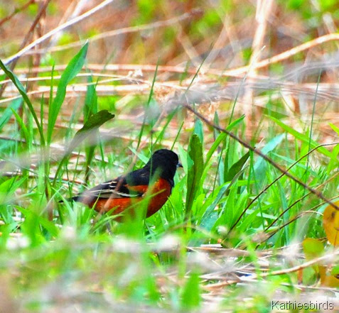 16. orchard oriole-kab