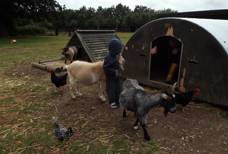 chickens and goats at aldingbourne country centre