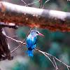 Kingfisher - Woodland Kingfisher