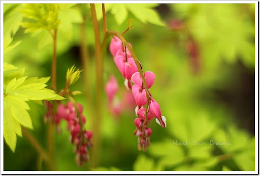 The dream sequence – Dicentra bleeding heart