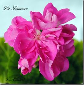 Pelargonium juli -11 005