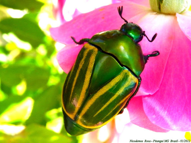 Scarabaeidae : Rutelinae : Macraspis sp. Pitangui (MG, Brésil), 29 janvier 2012. Photo : Nicodemos Rosa