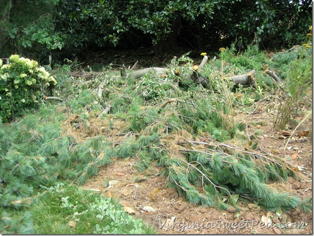 Pine on Big Flowerbed4