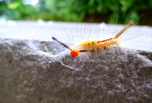 Tussock Moth Caterpillar 4
