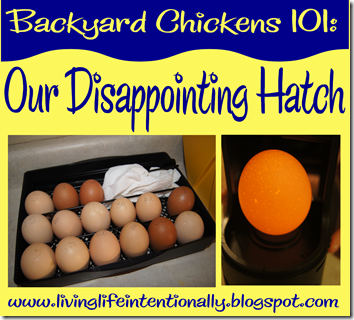 Backyard Chickens 101 Hatching Chickens and what to do if it all goes wrong - sexed mail order baby chicks