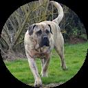 Image Google de Dogo Canario Hermanas de Sangre