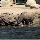 Nashorn mit Kalb