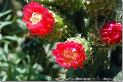 1278 Artenara-Acusa(Cactus de Méjico)