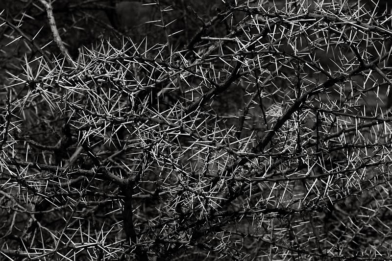 Acacia thorns in black and white